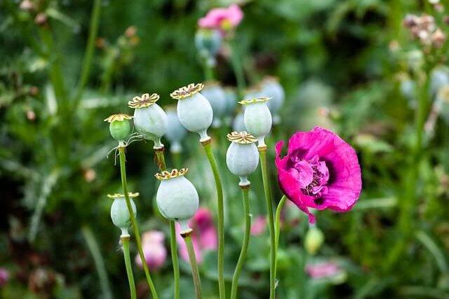 opium-poppy-4294623_640